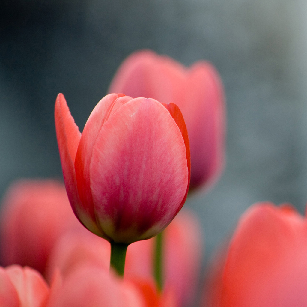 Tulip Wallpaper: DriverLayer Search Engine