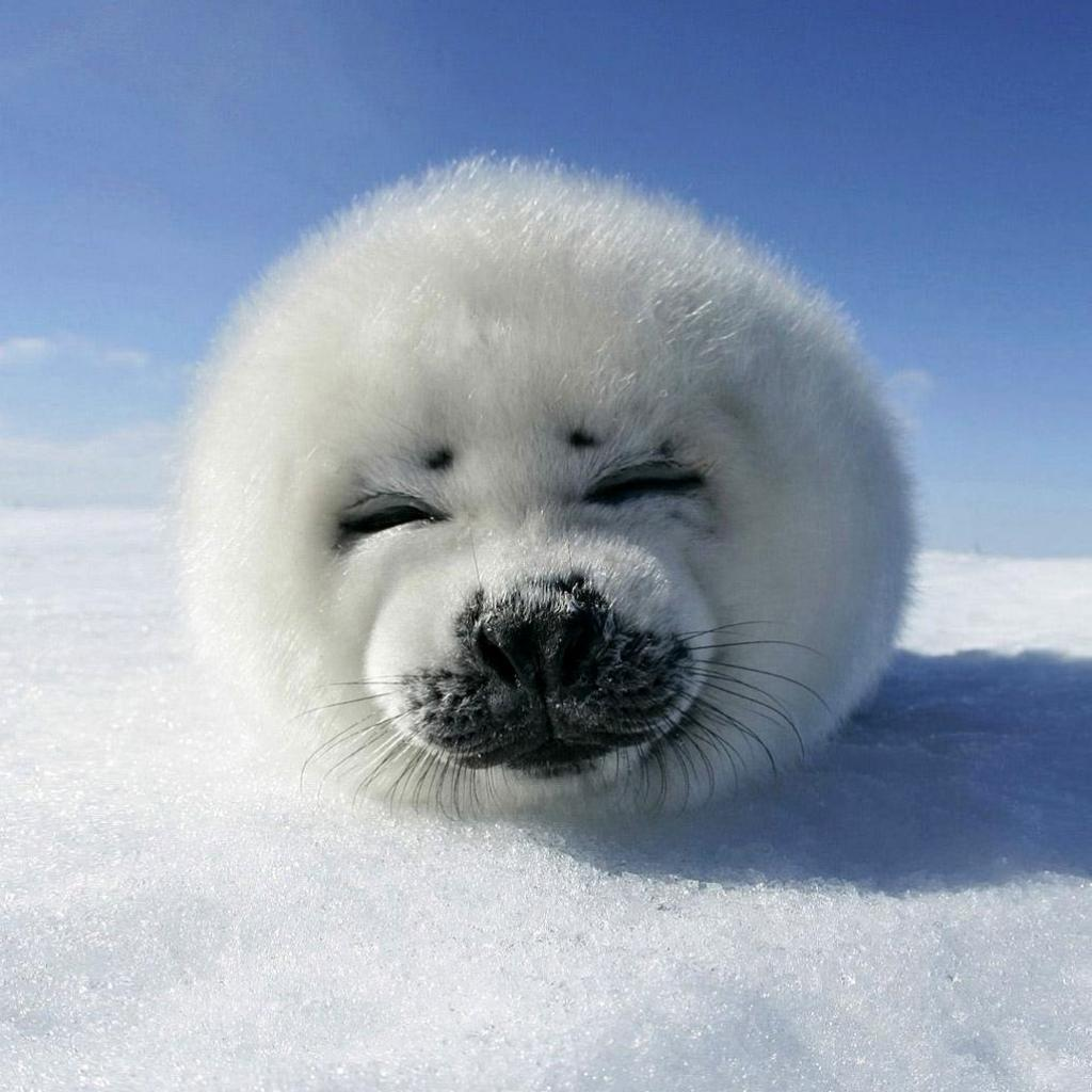 Baby Harp Seal | iPad Wallpaper - Download free iPad ...