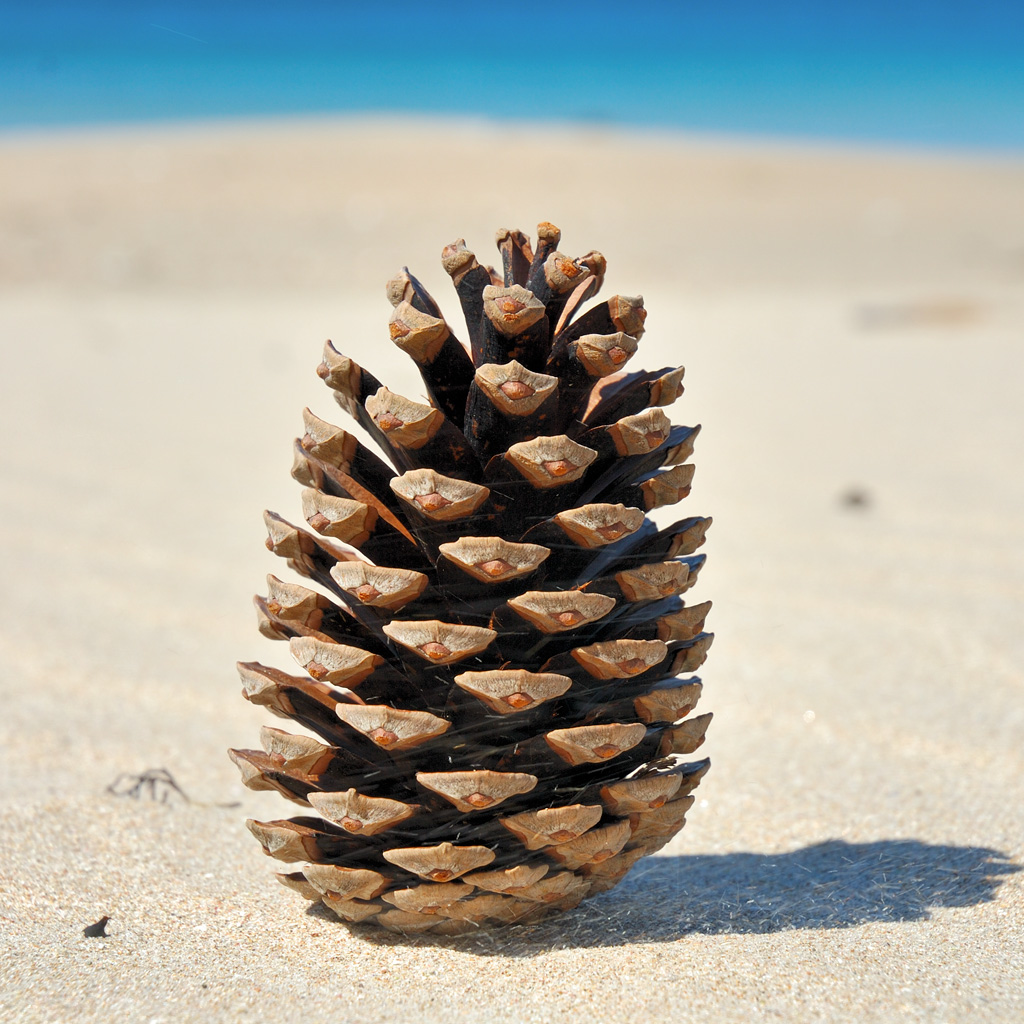 Pine cone ipad wallpaper download free ipad wallpapers for Pinecone wallpaper